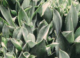 aloe-vera-blue-botanical-175247-260x188.jpg